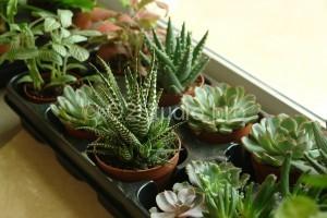 В наличии всегда разнообразие горшечных экзотических растений